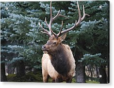 Acrylic Print featuring the photograph Bull Elk By Blue Spruce by Darrell E Spangler