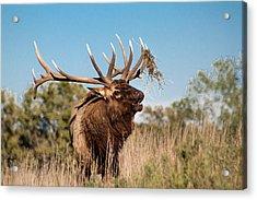 Bull Elk Call Acrylic Print