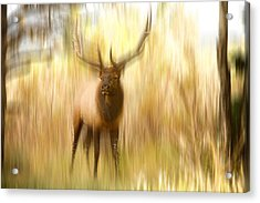 Bull Elk Forest Dreaming Acrylic Print by James BO  Insogna