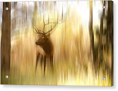 Bull Elk Forest Gazing Acrylic Print by James BO  Insogna
