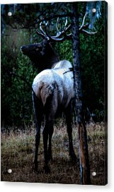 Bull Elk In Moonlight  Acrylic Print by Lars Lentz