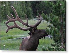 Bull Elk In Velvet Acrylic Print