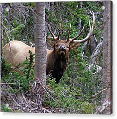 Bull Elk Looking At Me Acrylic Print