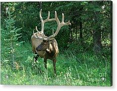 407p Bull Elk Acrylic Print