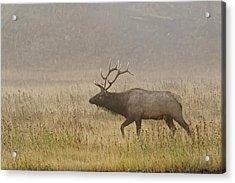 Bull Elk On Foggy Morning Along Madison Acrylic Print by Adam Jones