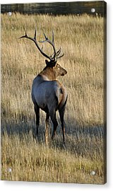 Bull Elk Surveying His Harem Acrylic Print by Bruce Gourley