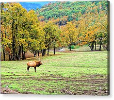 Acrylic Print featuring the photograph Bull Elk by Wendy McKennon