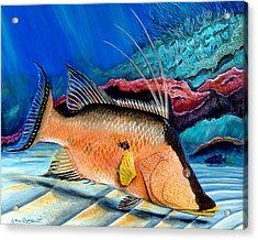 Bull Hogfish Acrylic Print