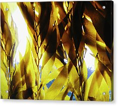 Bull Kelp In The Water In An Enclosure Acrylic Print by Mint Images - Paul Edmondson