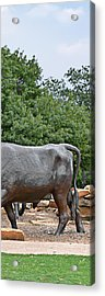 Bull Market Quadriptych 4 Of 4 Acrylic Print by Christine Till
