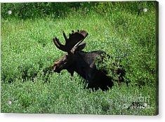 Bull Moose 1 Acrylic Print