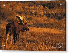 Bull Moose At Sunset Acrylic Print by Tim Grams