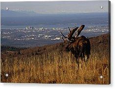 Bull Moose Grazing & Resting On Acrylic Print