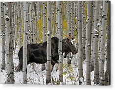Bull Moose In Autumn Acrylic Print by Leland D Howard