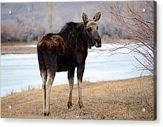 Bull Moose In Late Winter #2 Acrylic Print by Eric Nielsen