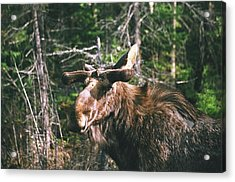 Acrylic Print featuring the photograph Bull Moose In Spring by David Porteus