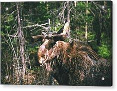 Bull Moose In Spring Acrylic Print by David Porteus