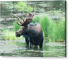 Bull Moose In The Wild Acrylic Print by Feva  Fotos