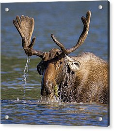 Bull Moose Sampling The Vegetation Acrylic Print by Jack Bell