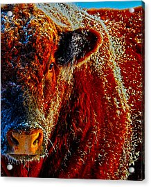 Bull On Ice Acrylic Print