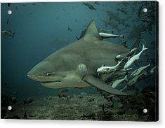 Bull Shark With Ramoras Acrylic Print