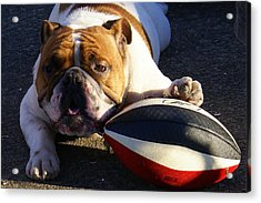 Bulldog And Ball Acrylic Print by DerekTXFactor Creative