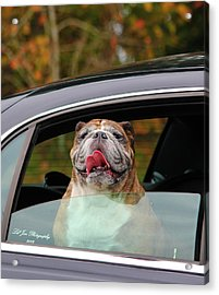 Bulldog Bliss Acrylic Print