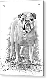 Bulldog Acrylic Print by James BO  Insogna