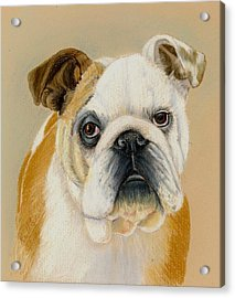 Bulldog Acrylic Print by Ruth Seal