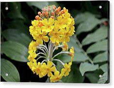 Bulley's Primrose (primula Bulleyana) Acrylic Print by Jane Sugarman