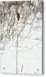Bulrush In Snow Acrylic Print by Carolyn Reinhart