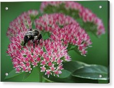 Bumble Bee Bliss Acrylic Print by Sue Chisholm