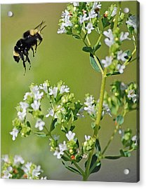 Bumble Bee Acrylic Print by Kjirsten Collier