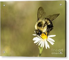 Bumble Bee Macro Acrylic Print by Debbie Green