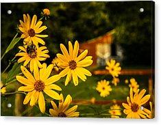 Bumble Bee On A Western Sunflower Acrylic Print