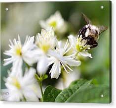 Bumble Bee On Clematis Acrylic Print by Ginger Wagner