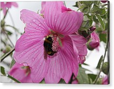 Bumble Bee On Lavatera Acrylic Print