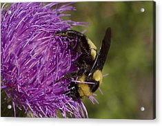 Bumble Bee On Thistle Acrylic Print by Shelly Gunderson