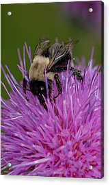 Bumble Bee Acrylic Print by Susan D Moody