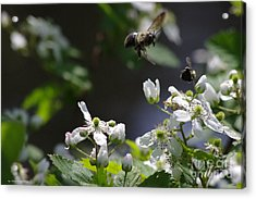 Bumble Bees In Flilght Acrylic Print by Tannis  Baldwin