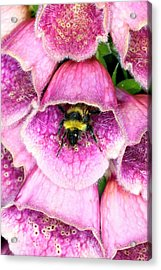Bumblebee And Foxglove Hybrid Acrylic Print by Dr Jeremy Burgess/science Photo Library