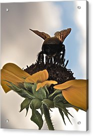 Bumblebee Acrylic Print by Kim Pippinger