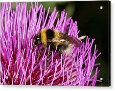 Bumblebee Feeding On Thistle Flower Acrylic Print by Bob Gibbons