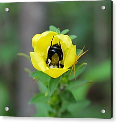 Bumblebee Flower Acrylic Print by Candice Trimble