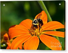 Bumblebee Hard At Work Acrylic Print