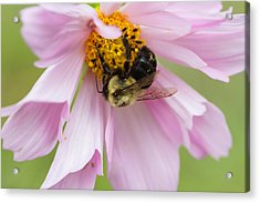 Bumblebee On A Blossom Acrylic Print