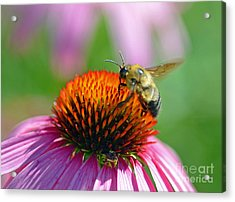 Bumblebee On A Coneflower Acrylic Print