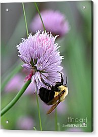 Acrylic Print featuring the photograph Bumblebee On Clover by Barbara McMahon