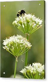 Acrylic Print featuring the photograph Bumblebee On Garlic Chives by Rebecca Sherman