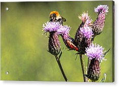 Acrylic Print featuring the photograph Bumblebee On Thistl by Leif Sohlman